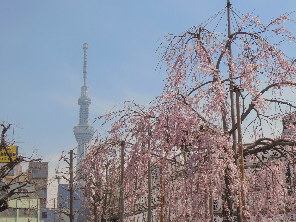 Japan Trip 2015 - Sakura / Cherry Blossoms in Asakusa with the Skytree in the background