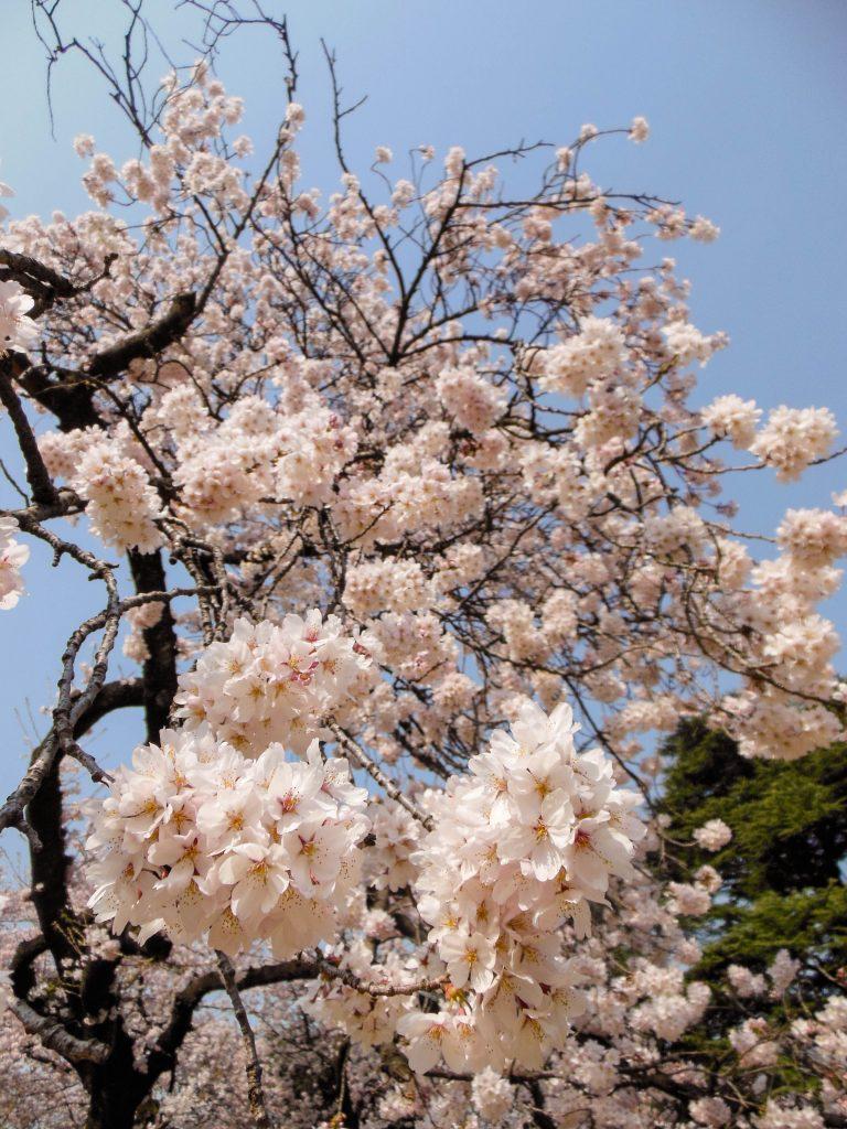 Japan Trip 2015 - Cherry Blossoms / Sakura in Shinjuku Gyoen