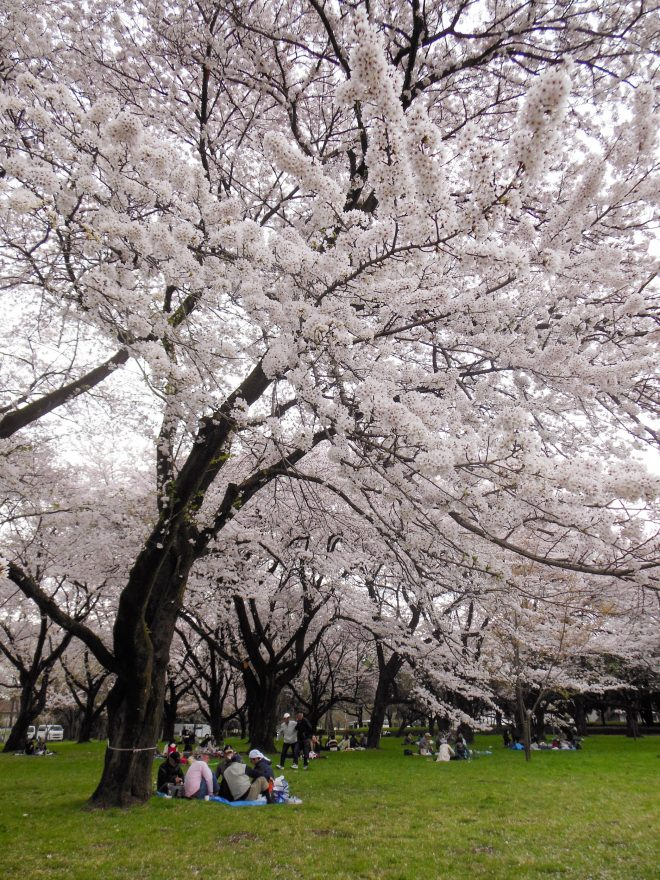 Japan Trip 2015 - Cherry blossoms in Koganei Park