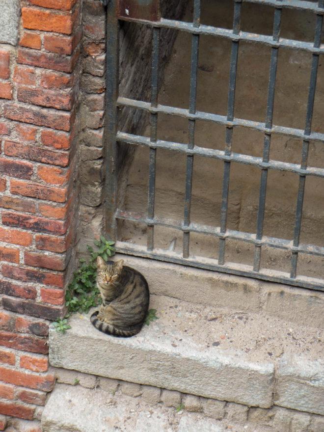 Italy 2016 - Sfroza Castle exterior - cats