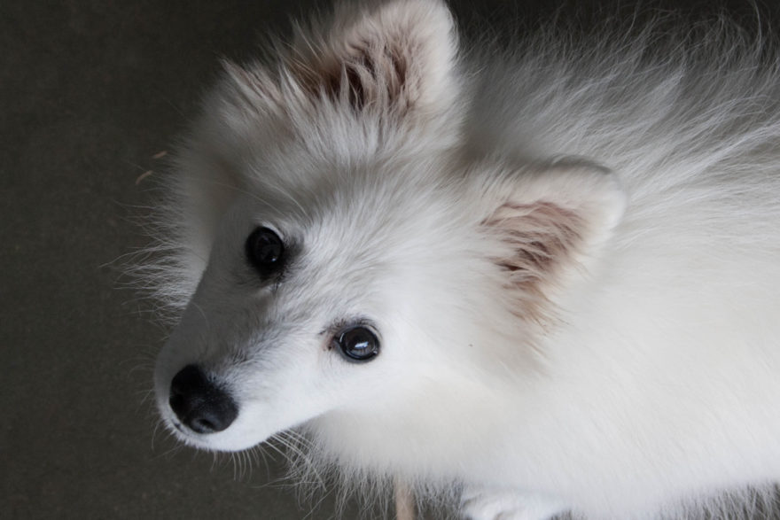 A year with Lucy, the Japanese Spitz - Close up