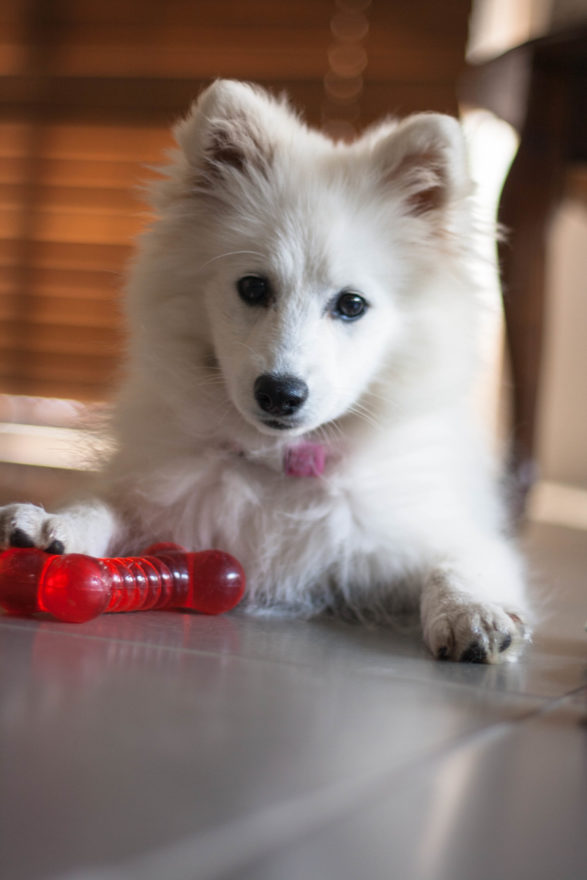 A year with Lucy, the Japanese Spitz - with her bone toy