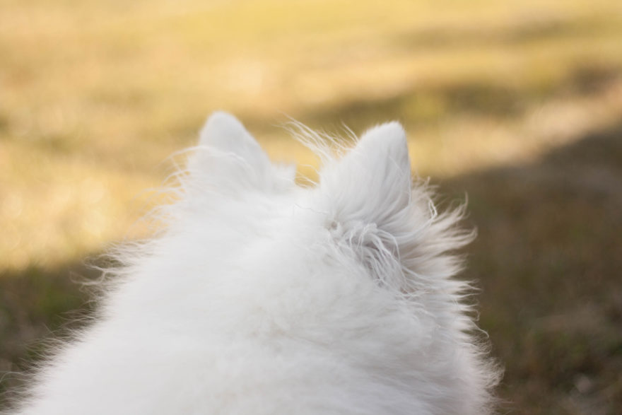 A year with Lucy, the Japanese Spitz - surveying the scene