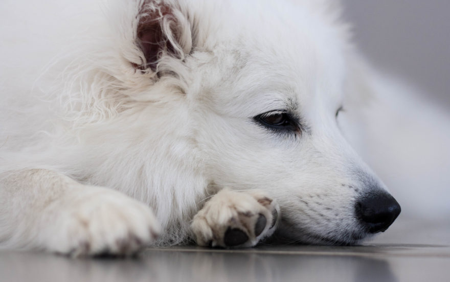 A year with Lucy, the Japanese Spitz - sleepy puppy